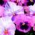 Pansies: Viola X Wittrockiana, 'Delta™ Pink Shades'