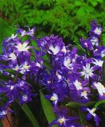 Bulbs_chionodoxa_forbesii-1.full