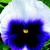 Pansies: Viola X Wittrockiana, 'Delta™ Premium Beaconsfield'