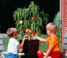 Peach Tree, Stark® Sensation™ miniature