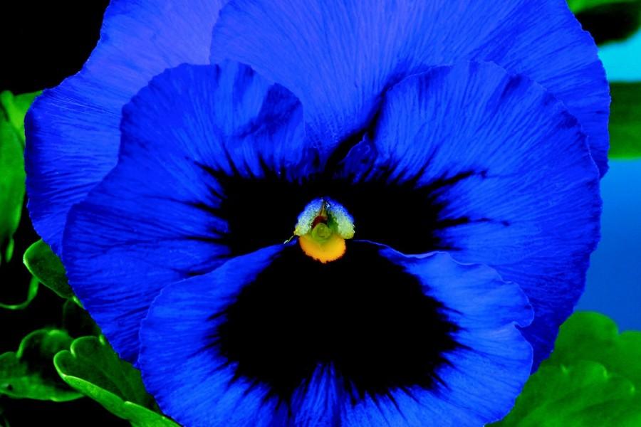 Pansies_viola_x_wittrockiana_delta_tm_premium_deep_blue_blotch-1.full