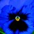 Pansies_viola_x_wittrockiana_delta_tm_premium_deep_blue_blotch-1.small