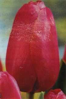 Tulips_tulipa_renown-1.full