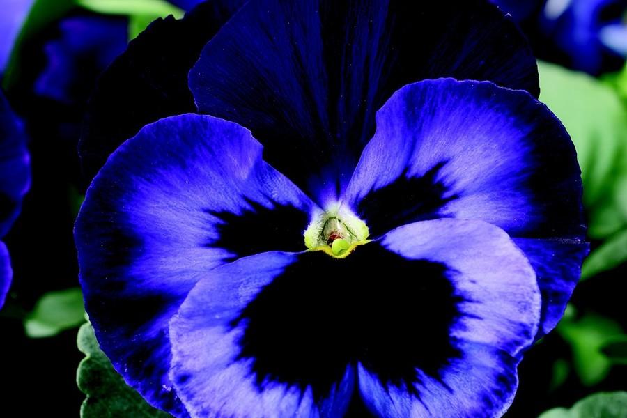 Pansies_viola_x_wittrockiana_delta_tm_premium_neon_violet-1.full