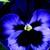 Pansies_viola_x_wittrockiana_delta_tm_premium_neon_violet-1.small