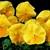 Pansies_viola_x_wittrockiana_delta_tm_premium_pure_lemon-1.small
