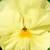 Pansies_viola_x_wittrockiana_delta_tm_premium_pure_primrose-1.small