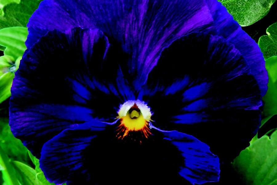 Pansies_viola_x_wittrockiana_delta_tm_premium_pure_violet-1.full