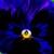 Pansies_viola_x_wittrockiana_delta_tm_premium_pure_violet-1.small