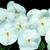 Pansies_viola_x_wittrockiana_delta_tm_premium_pure_white-1.small