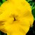 Pansies_viola_x_wittrockiana_delta_tm_premium_pure_yellow-1.small