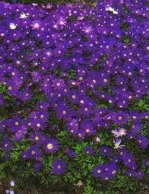 Anemone, 'Blue Shades'