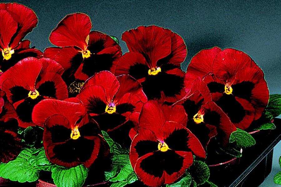 Pansies_viola_x_wittrockiana_delta_tm_premium_red_blotch-1.full