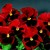Pansies_viola_x_wittrockiana_delta_tm_premium_red_blotch-1.small