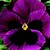 Pansies_viola_x_wittrockiana_delta_tm_premium_rose_blotch-1.small