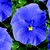Pansies_viola_x_wittrockiana_delta_tm_premium_true_blue-1.small