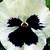 Pansies: Viola X Wittrockiana, 'Delta™ Premium White Blotch'