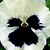 Pansies_viola_x_wittrockiana_delta_tm_premium_white_blotch-1.small