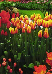 Tulips_tulipa_blushing_beauty-1.full