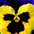 Pansies_viola_x_wittrockiana_delta_tm_premium_yellow_purple_wing-1.small