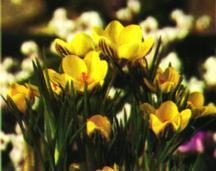 Crocus, Spring Flowering Snow 'Gypsy Girl'