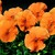 Pansies_viola_x_wittrockiana_delta_tm_pure_deep_orange-1.small