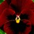 Pansies_viola_x_wittrockiana_delta_tm_pure_red-1.small