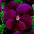 Pansies_viola_x_wittrockiana_delta_tm_pure_rose-1.small