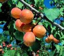 Apricot Tree, Wilson Delicious dwarf
