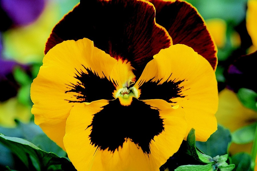 Pansies_viola_x_wittrockiana_delta_tm_yellow_red_wing-1.full