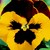 Pansies_viola_x_wittrockiana_delta_tm_yellow_red_wing-1.small