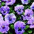 Pansies_viola_x_wittrockiana_designer_collection_tm_lavender_splash-1.small