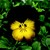 Pansies_viola_x_wittrockiana_designer_collection_tm_midnight_sun-1.small