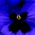 Pansies_viola_x_wittrockiana_skyline_tm_blue-1.small
