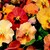 Pansies_viola_x_wittrockiana_skyline_tm_copperfield-1.small