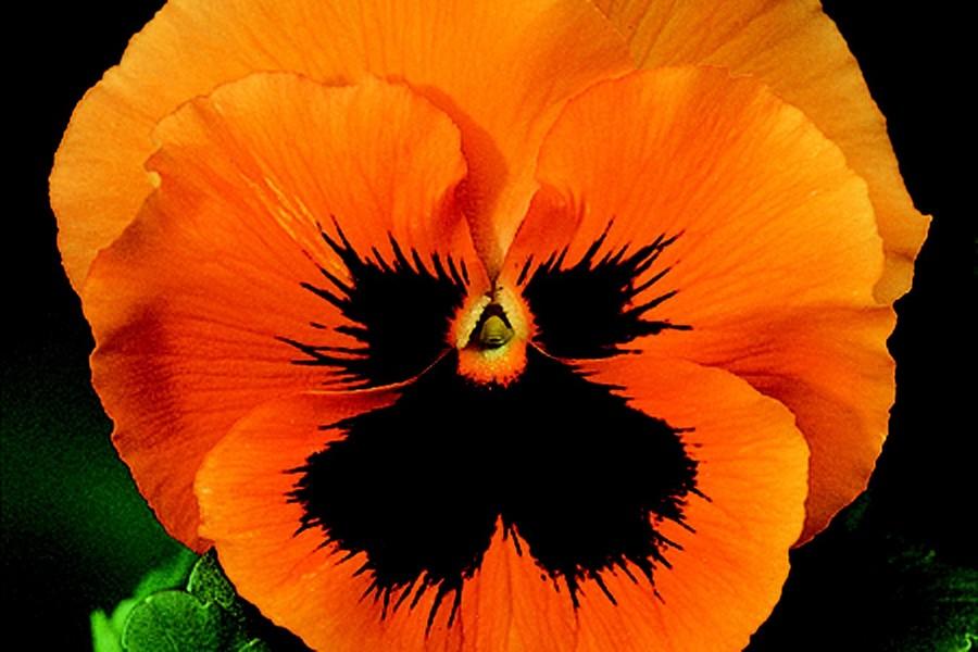 Pansies_viola_x_wittrockiana_skyline_tm_orange-1.full