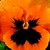 Pansies_viola_x_wittrockiana_skyline_tm_orange-1.small