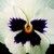 Pansies_viola_x_wittrockiana_skyline_tm_white-1.small