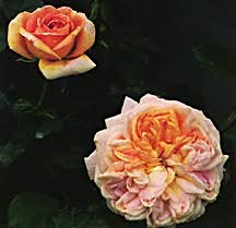 Rose, Shrub 'Alchymist' (1956)