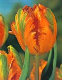 Tulips_tulipa_orange_favorite-1.full