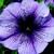 Petunias: Petunia Grandiflora, 'Bravo™ Blue Vein'