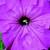 Petunias: Petunia Grandiflora, 'Bravo™ Lavender'