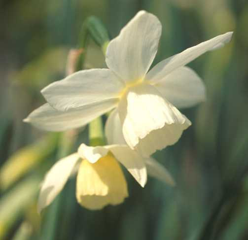 Daffodils_and_narcissus_narcissus_triandrus_thalia-1.full