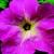 Petunias: Petunia Grandiflora, 'Bravo™ Pink Flare'