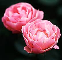 Rose, Antique Floribunda 'La Marne' (1915)