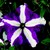 Petunias: Petunia Grandiflora, 'Bravo™ Purple Star'