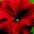 Petunias: Petunia Grandiflora, 'Bravo™ Red'