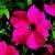 Petunias: Petunia Grandiflora, 'Bravo™ Rose'