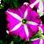 Petunias: Petunia Grandiflora, 'Bravo™ Rose Star'