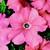Petunias: Petunia Grandiflora, 'Bravo™ Salmon'
